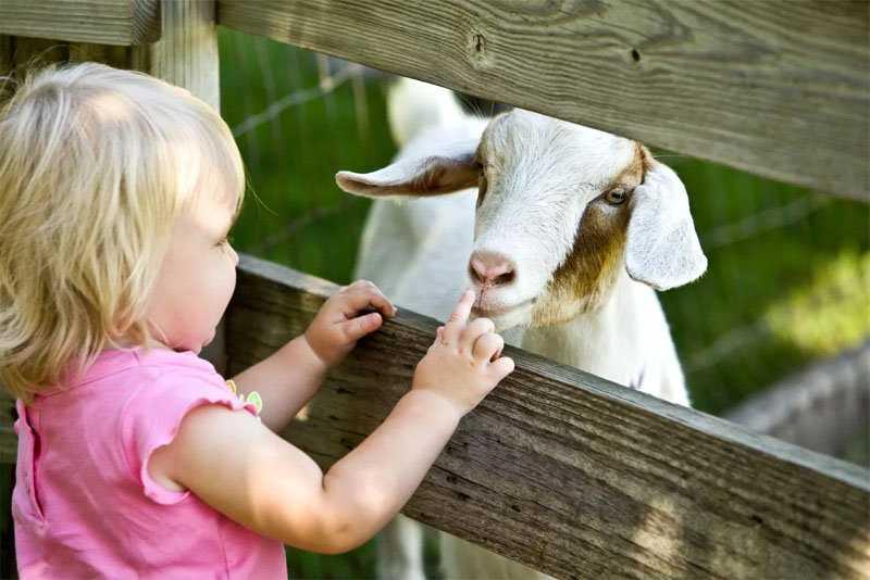 коза и ребенок