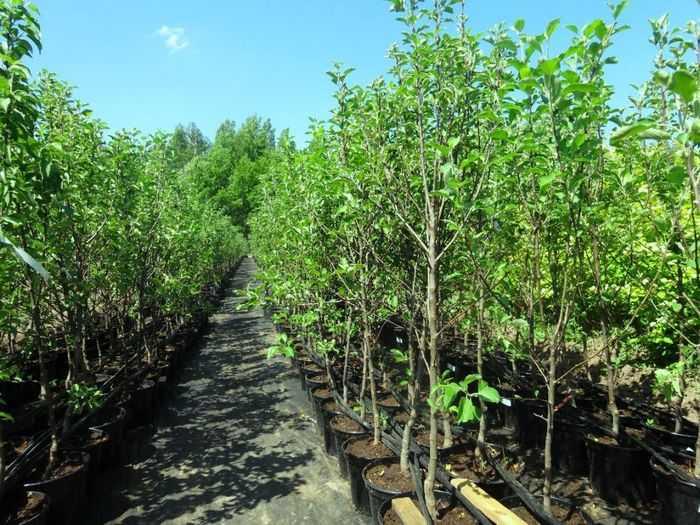 Как правильно выбирать саженцы плодовых деревьев?